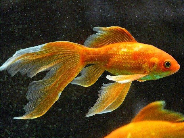 Welche Fische dürfen im Teich nicht fehlen?